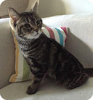 Domestic Shorthair Cat for adoption in Addison, Illinois - Belgium
