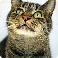 Domestic Shorthair Cat for adoption in Aiken, South Carolina - Bubba