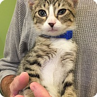Domestic Shorthair Kitten for adoption in Cincinnati, Ohio - Mercury