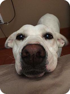 Labrador Retriever/Eskimo Spitz Mix Dog for adoption in Elgin, Illinois - *Bailey