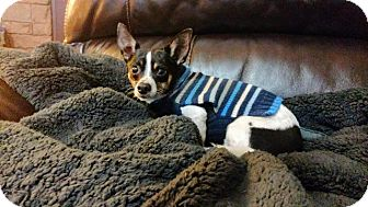 Rat Terrier/Chihuahua Mix Dog for adoption in Gilmer, Texas - Lil Bill