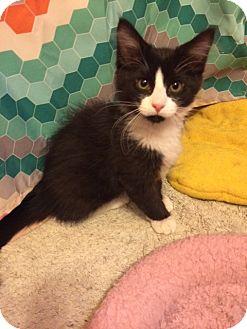 Domestic Shorthair Kitten for adoption in Overland Park, Kansas - Oliver
