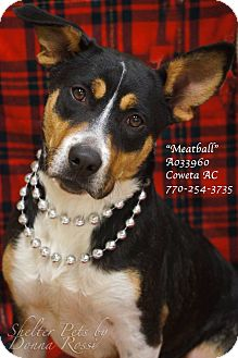 Corgi/German Shepherd Dog Mix Dog for adoption in Newnan City, Georgia - Meatball