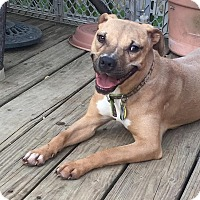Pit Bull Terrier Mix Dog for adoption in Glenolden, Pennsylvania - Victoria