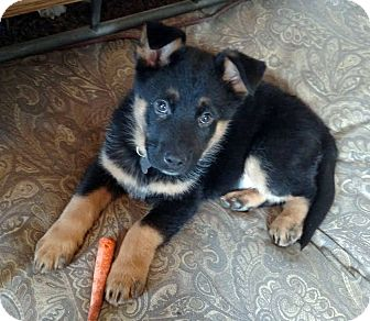 German Shepherd Dog/Shepherd (Unknown Type) Mix Puppy for adoption in Detroit, Michigan - Kringle-Pending!