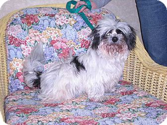 "Shih Tzu Dog for adoption in New Castle, Pennsylvania - "" DeDe """