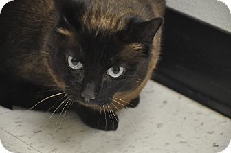 Siamese Cat for adoption in Foothill Ranch, California - Kahlua