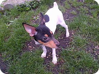 Rat Terrier Mix Puppy for adoption in Glenview, Illinois - Bailey