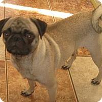 Adopt A Pet :: Gigi - Rigaud, QC