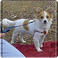 Adopt A Pet :: Sadie fluff pup - Sacramento, CA