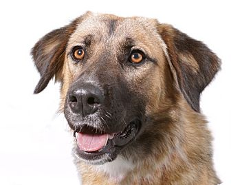 leonberger german shepherd mix sadie adopted dog sudbury ma german shepherd dog 2235