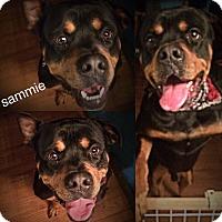 Adopt A Pet :: Sammie - Brattleboro, VT