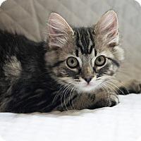 Adopt A Pet :: Miss Fluffy Pants - Boise, ID