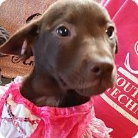 Adopt A Pet :: Smores - Wilmington, DE