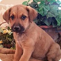Adopt A Pet :: Rochelle - Nashville, TN