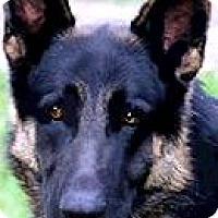 Adopt A Pet :: BEAR(GORGEOUS PB GERMAN SHEP!! - Wakefield, RI