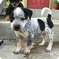 Adopt A Pet :: Theo Pup - Austin, TX