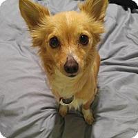 Adopt A Pet :: Gabby - Norman, OK