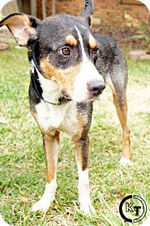 Entlebucher/Bernese Mountain Dog Mix Dog for adoption in Dallas, Texas - Edgrrr Allan Paw