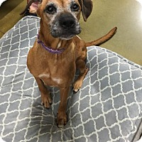 Boxer Dog for adoption in Cincinnati, Ohio - Abby