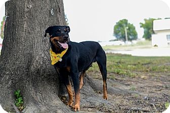 Rottweiler Dog for adoption in Muldrow, Oklahoma - Dixie
