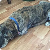 Labrador Retriever/Terrier (Unknown Type, Medium) Mix Dog for adoption in Muskegon, Michigan - Junior