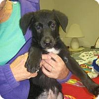 Adopt A Pet :: Dachsador Cash - Fultonham, NY
