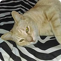 American Shorthair Cat for adoption in Tucson, Arizona - Cheddar