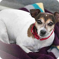Parson Russell Terrier Mix Dog for adoption in Pittsburgh, Pennsylvania - PIXIE