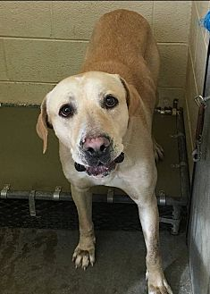 Labrador Retriever/Mastiff Mix Dog for adoption in Kittery, Maine - Jeff *SEEKING DOG-SAVVY*