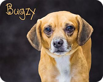 Beagle/Pug Mix Dog for adoption in Somerset, Pennsylvania - Bugzy