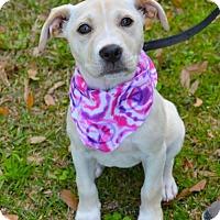 Adopt A Pet :: Dreamy - Lafayette, LA