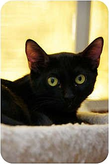 Domestic Shorthair Cat for adoption in Scottsdale, Arizona - Kramer