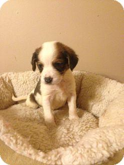 Beagle Mix Puppy for adoption in Lexington, Kentucky - Marie