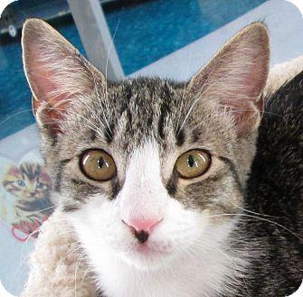 Domestic Shorthair Kitten for adoption in Winchester, California - Shakira