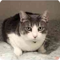 Domestic Shorthair Cat for adoption in Pasadena, California - Marmee