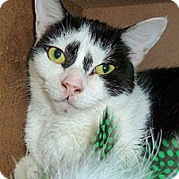 Domestic Shorthair Cat for adoption in Carmel, New York - Chastity