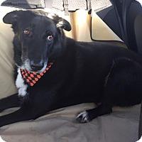 Adopt A Pet :: Chester - Ocean Ridge, FL