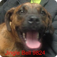 Adopt A Pet :: Jingle Bell - baltimore, MD