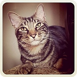 Photo 1 - Domestic Shorthair Cat for adoption in Long Beach, California - Dylan