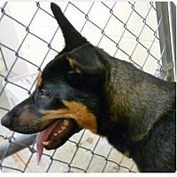 Adopt A Pet :: Lady - Springdale, AR
