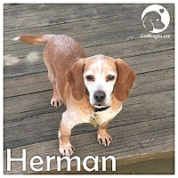 Adopt A Pet :: Herman - Novi, MI
