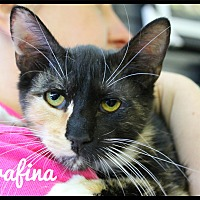 Calico Kitten for adoption in Wichita Falls, Texas - Serafina