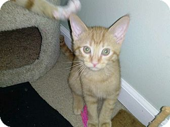 Domestic Shorthair Cat for adoption in Warren, Michigan - Brutus