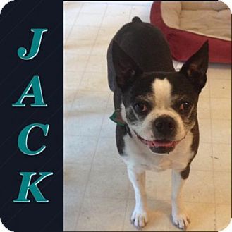 Boston Terrier Dog for adoption in various cities, Florida - Jack Lawson FL