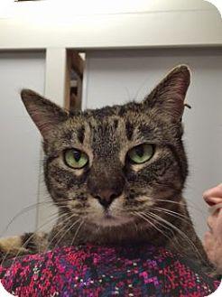 Domestic Mediumhair Cat for adoption in Denver, Colorado - Rosie
