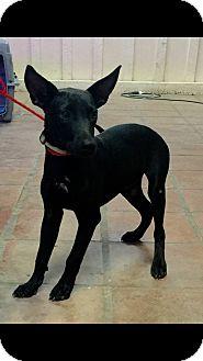 Doberman Pinscher/Labrador Retriever Mix Puppy for adoption in Mesa, Arizona - Tommy