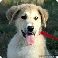 Bullmastiff/Great Pyrenees Mix Puppy for adoption in parissipany, New Jersey - Lady