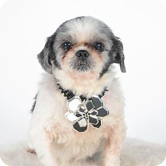 Shih Tzu Dog for adoption in St. Louis Park, Minnesota - Amy - Adoption Pending as of 11/29