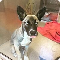 Adopt A Pet :: Alexis - Studio City, CA